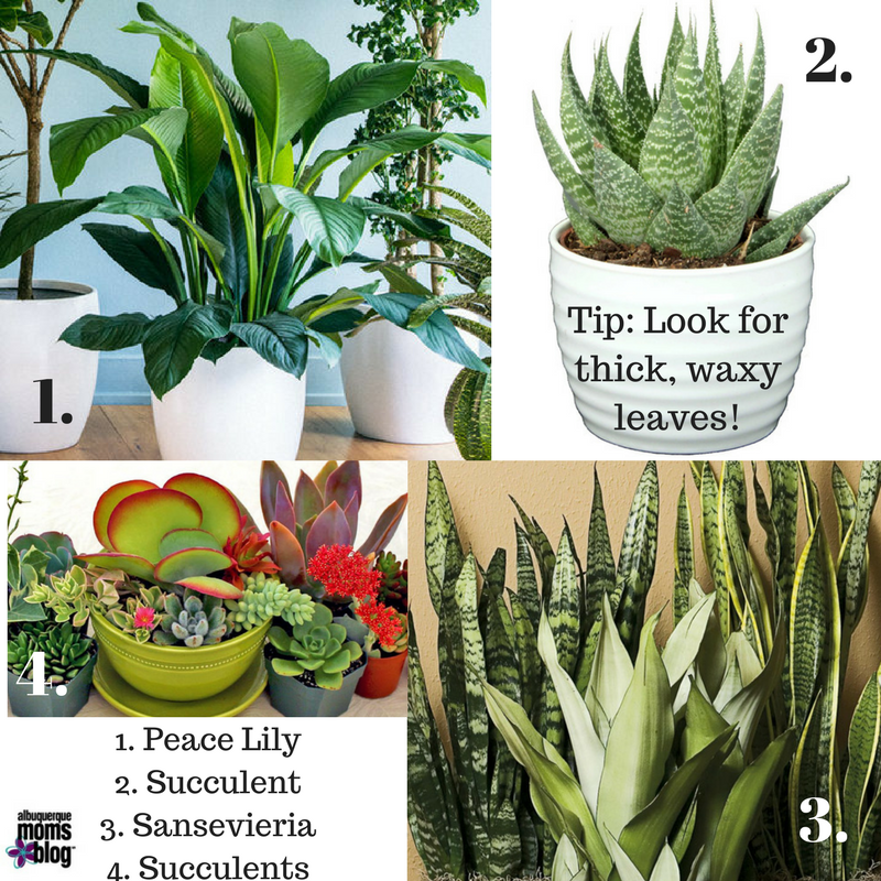 House Plants for High Altitude Homes from Albuquerque Mom's Blog