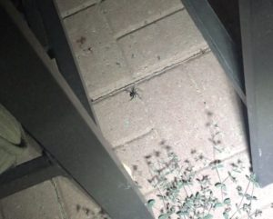 Black Widow Hunting at Night, Albuquerque Mom's Blog
