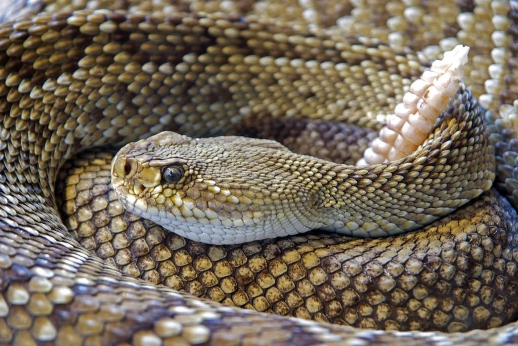 rattlesnake   Albuquerque Moms Blog