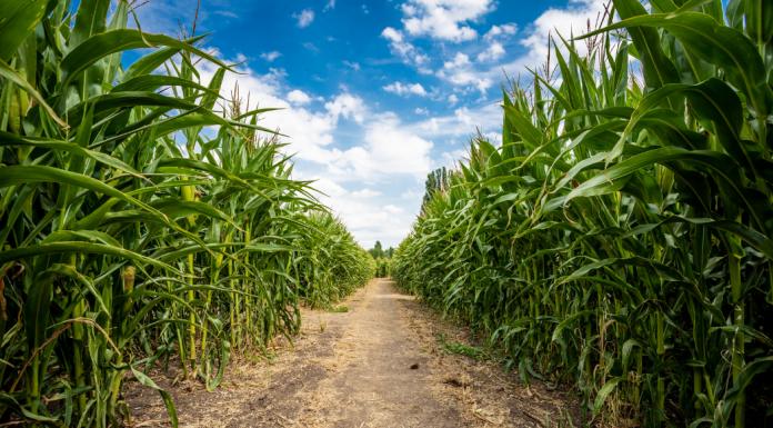 Guide to Corn Mazes in the Albuquerque Area